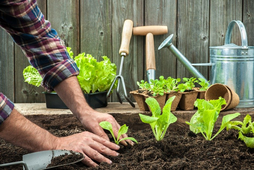 person planting lettuce